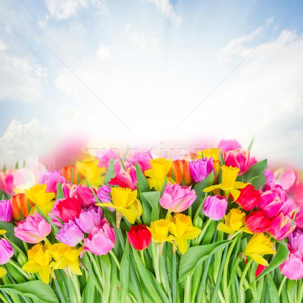 Virágcsokor rózsaszín lila piros tulipánok köteg Stock fotó © neirfy