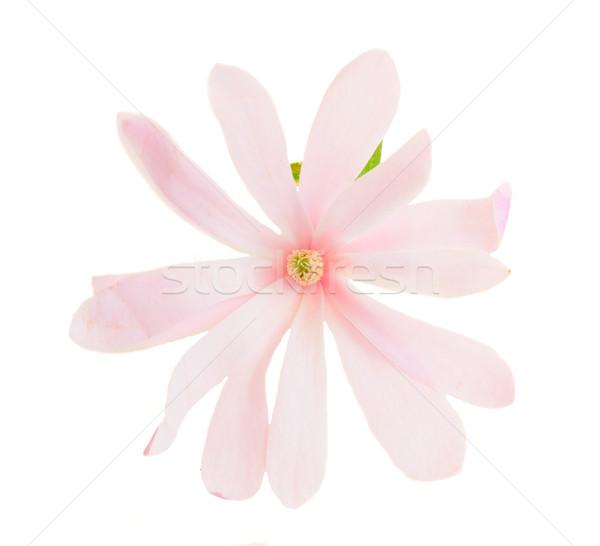 Magnolia roze bloemen voorjaar bloesem geïsoleerd Stockfoto © neirfy