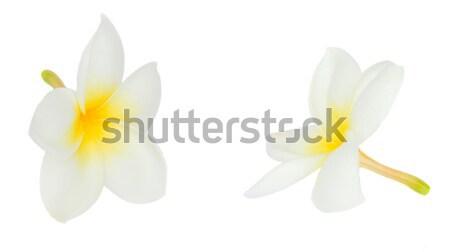 two frangipani flowers Stock photo © neirfy