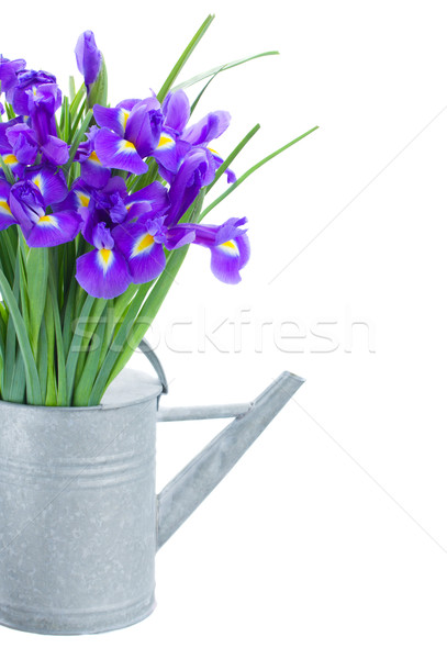 bunch of blue irise flowers in watering can Stock photo © neirfy