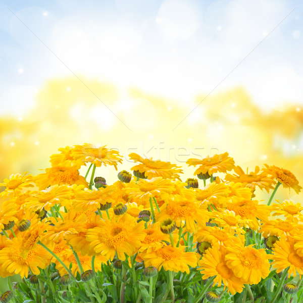 calendula flowers  in garden Stock photo © neirfy