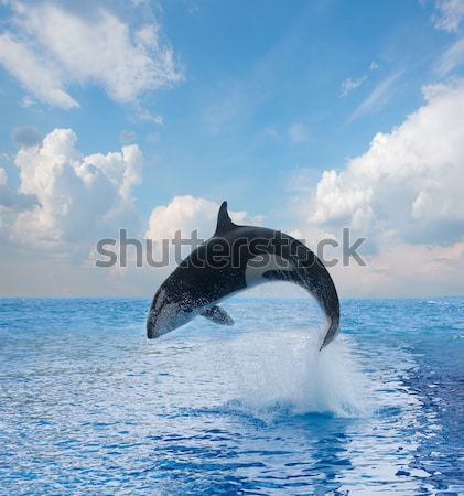 jumping killer whale Stock photo © neirfy