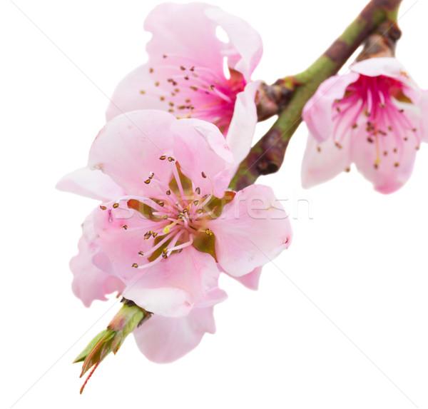 Kiraz ağaç dal pembe çiçekler Stok fotoğraf © neirfy
