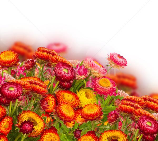Everlasting flowers Stock photo © neirfy