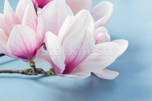 Stock photo: Magnolia Flowers on White