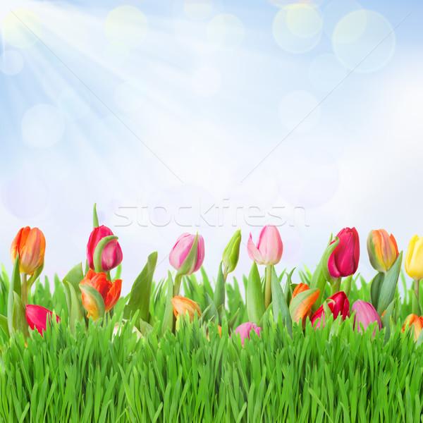 Tulipanes jardín hierba azul cielo fondo Foto stock © neirfy
