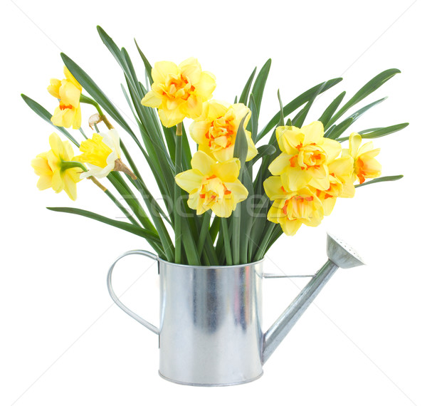 narcissus flowers in watering can Stock photo © neirfy