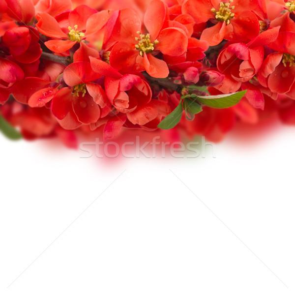 Drzewo kwiaty czerwony granicy biały Zdjęcia stock © neirfy