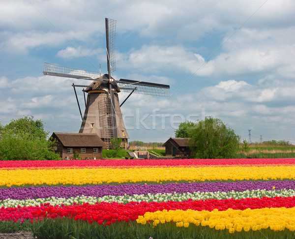 Photo stock: Une · moulin · à · vent · tulipes · tulipe