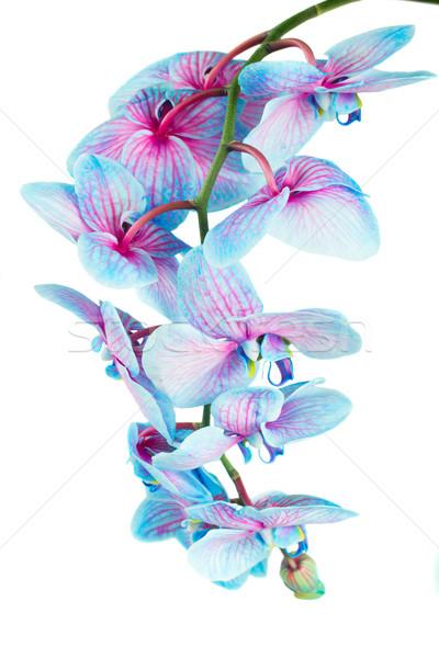 Kök mavi orkide taze yalıtılmış beyaz Stok fotoğraf © neirfy