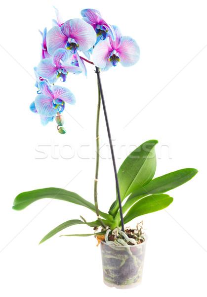 Stelo blu orchidee fresche orchidea fiori Foto d'archivio © neirfy