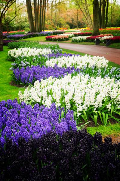 Kék jácint virágágy ibolya fehér holland Stock fotó © neirfy