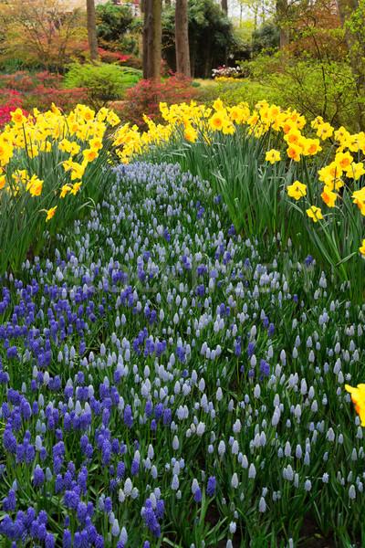 нарциссов свежие желтый весны растущий Сток-фото © neirfy