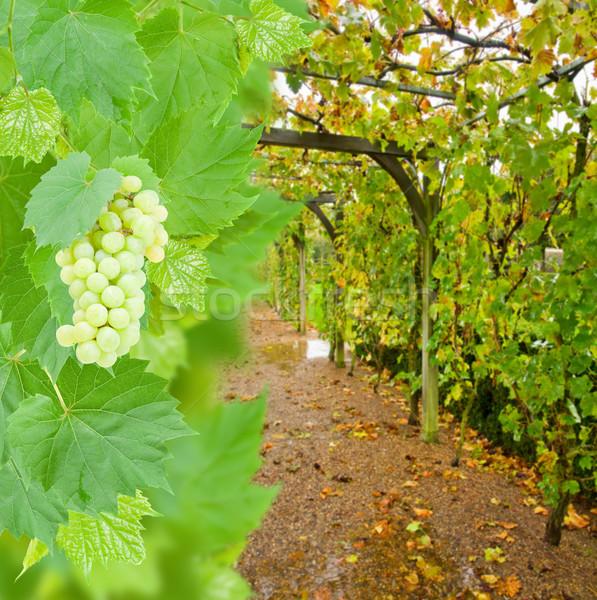 wine yard allwy with grape Stock photo © neirfy