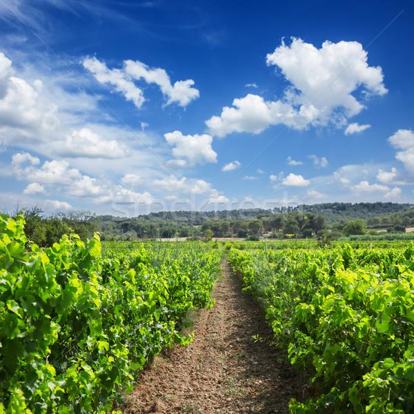 Vineyard Stock photo © neirfy
