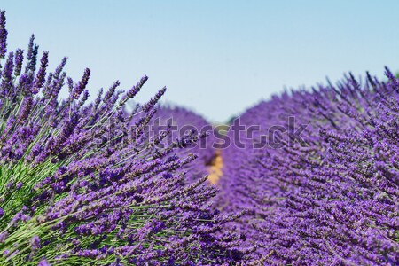Lavender field Stock photo © neirfy