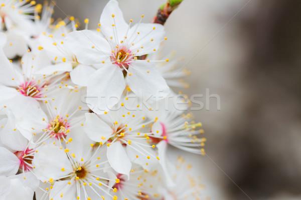Primavera bianco fiorire albero primavera fiori Foto d'archivio © neirfy