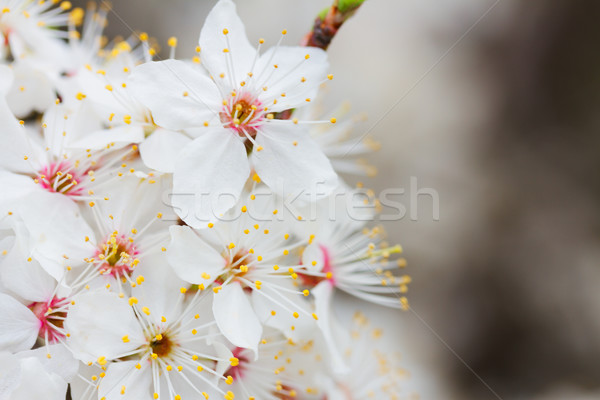 Spring white bloom Stock photo © neirfy