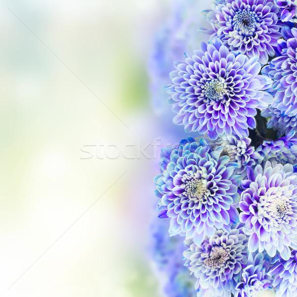 Kék krizantém virágok friss kert bokeh Stock fotó © neirfy