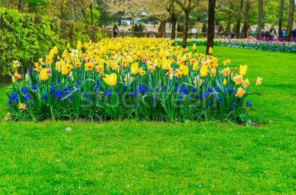 Rows of daffodils, bluebells and tulips flowers Stock photo © neirfy