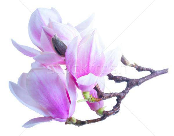 магнолия цветы белый веточка изолированный Сток-фото © neirfy