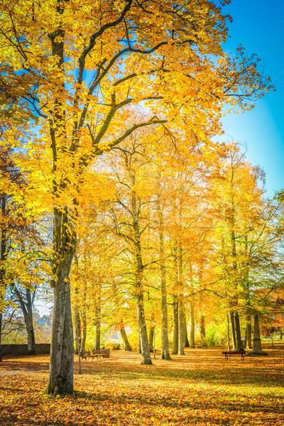 Vibrante caída follaje amarillo árboles Foto stock © neirfy
