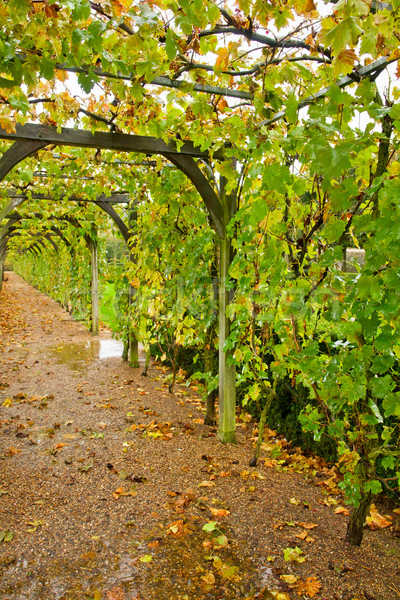 Winery galerie vert raisins jardin arbre Photo stock © neirfy