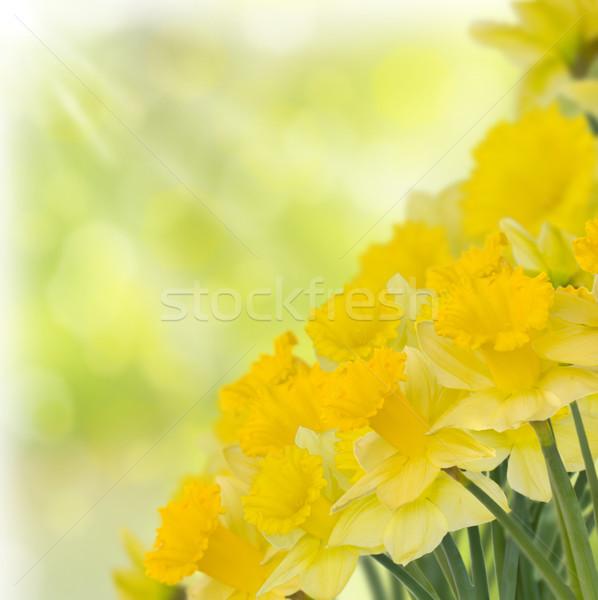 Bahar nergis yeşil bokeh çiçek köpek Stok fotoğraf © neirfy