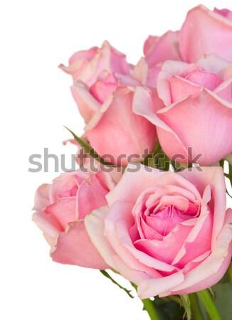 Leylak rengi gül yaprakları yalıtılmış beyaz çiçek sevmek Stok fotoğraf © neirfy