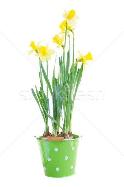 Pote primavera crescente narcisos isolado branco Foto stock © neirfy
