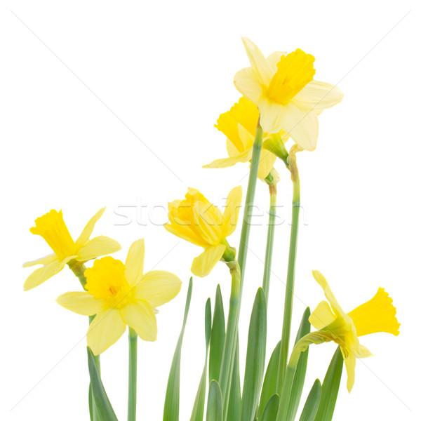 Tavasz növekvő nárciszok közelkép izolált fehér Stock fotó © neirfy