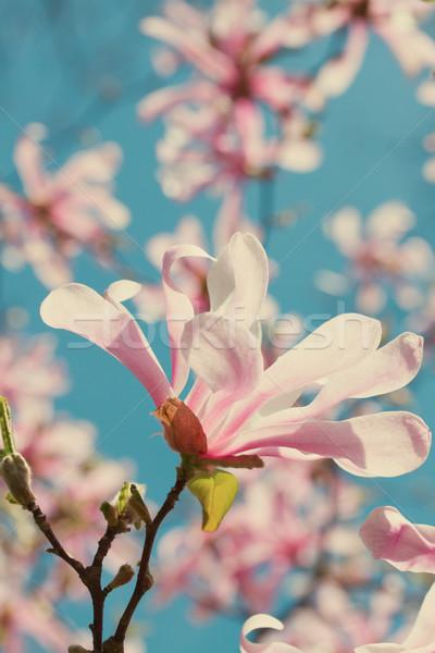 магнолия цветы дерево Blue Sky ретро Сток-фото © neirfy