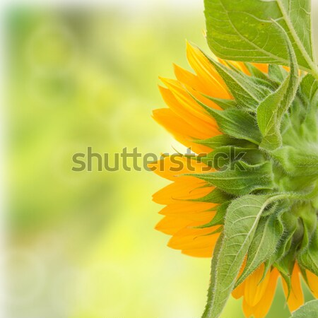 sunflowers Stock photo © neirfy