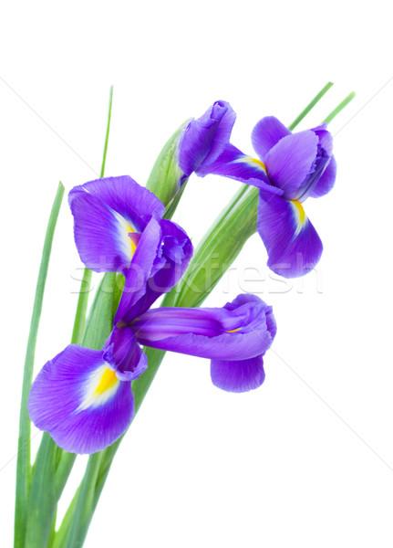 irise flowers posy Stock photo © neirfy