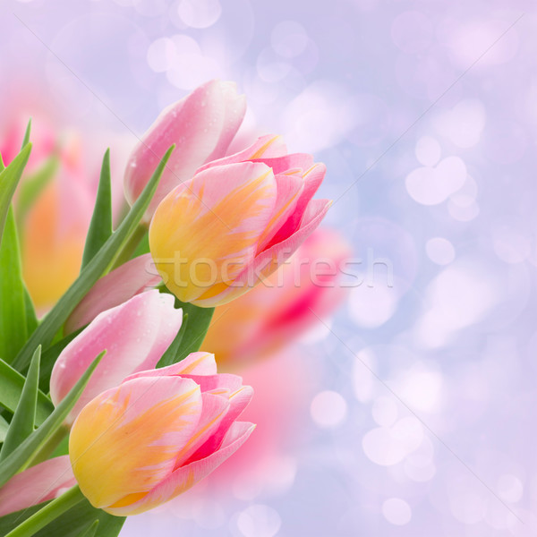 pink tulips on blue Stock photo © neirfy