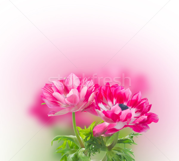 pink anemone flowers  Stock photo © neirfy