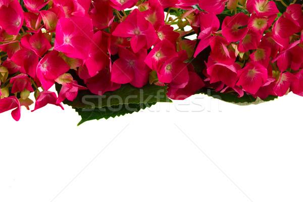 Pembe çiçekler sınır yalıtılmış beyaz çiçek Stok fotoğraf © neirfy