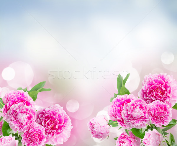 pink   peonies border Stock photo © neirfy
