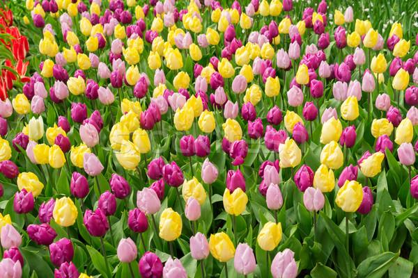 Rose pourpre jaune tulipes parterre de fleurs floraison Photo stock © neirfy
