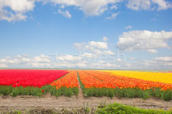 Stok fotoğraf: Hollanda · sarı · lâle · alanları · alan