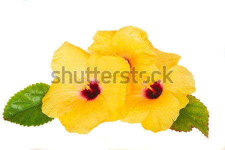 Stok fotoğraf: Sarı · ebegümeci · çiçekler · yalıtılmış · beyaz · sevmek