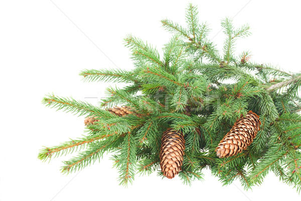 Pine Branch With Cones Stock photo © neirfy