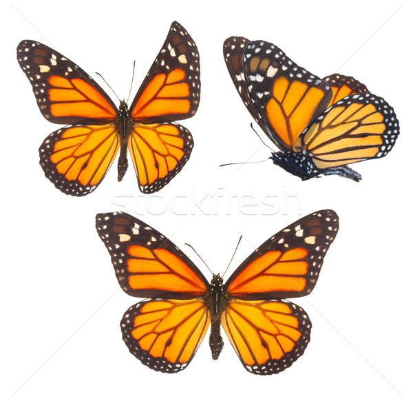 Monarch butterfly Stock photo © neirfy