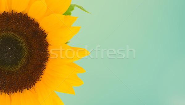 Mező napraforgók színes egy fej közelkép Stock fotó © neirfy