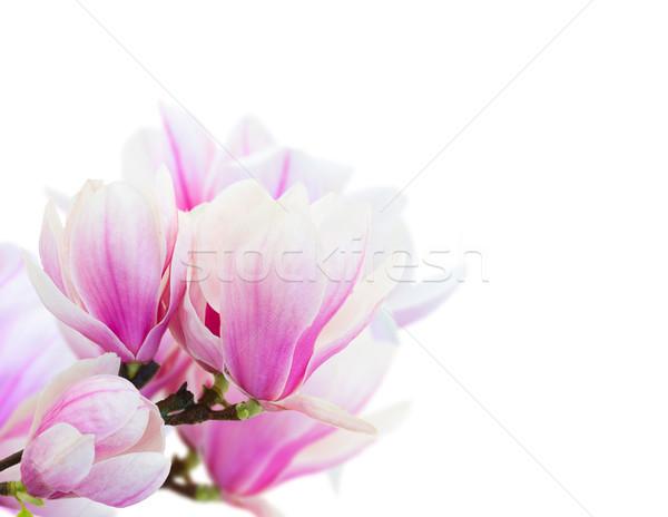 Roze magnolia bloemen takje vers Stockfoto © neirfy