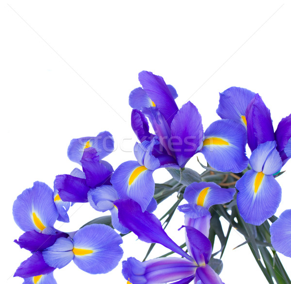 blooming irises flowers Stock photo © neirfy