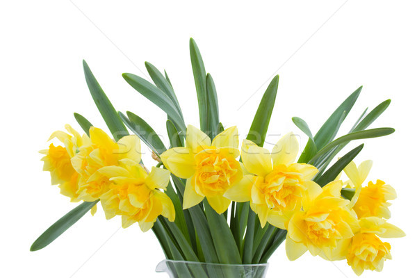 bouquet of blooming narcissus Stock photo © neirfy