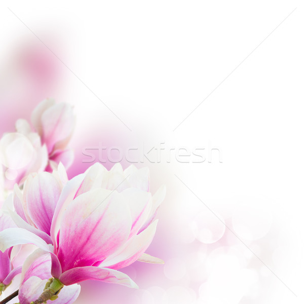 Stock photo: Blossoming pink magnolia tree Flowers