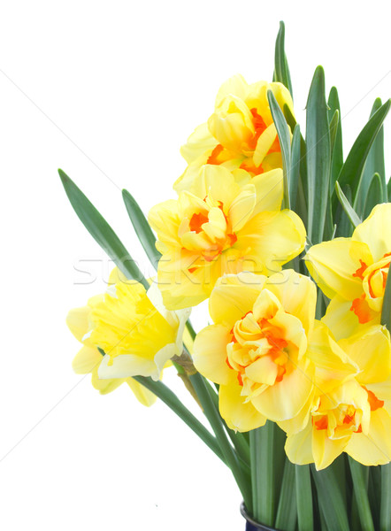 spring narcissus close up Stock photo © neirfy