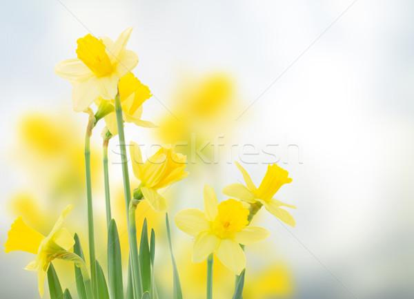 Bahar nergis bahçe mavi bokeh çiçekler Stok fotoğraf © neirfy